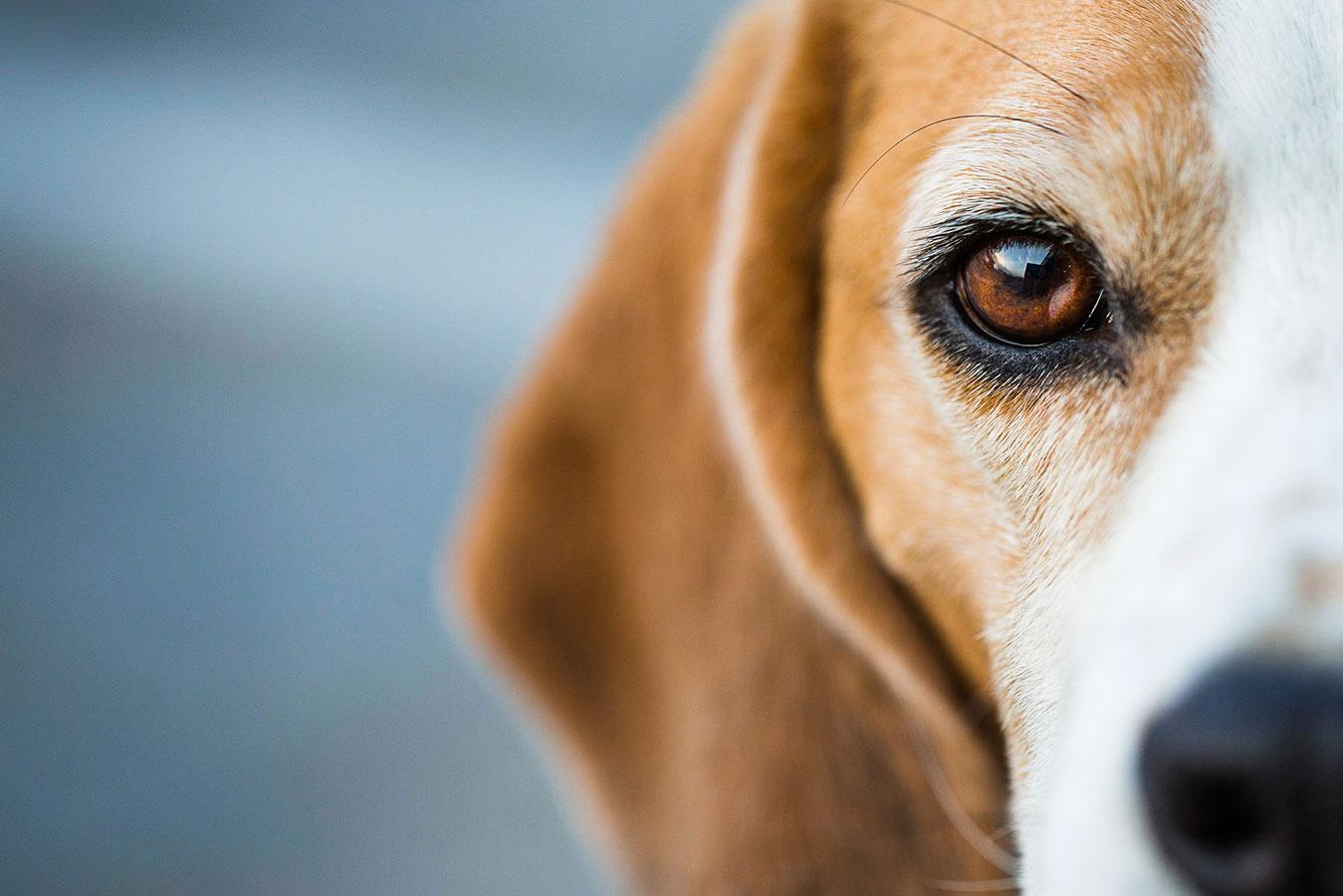 Beagle female names