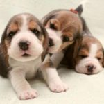 Beagle female puppy names