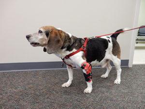 Beagle front leg limp