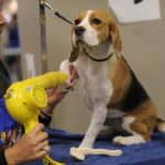 Beagle grooming supplies