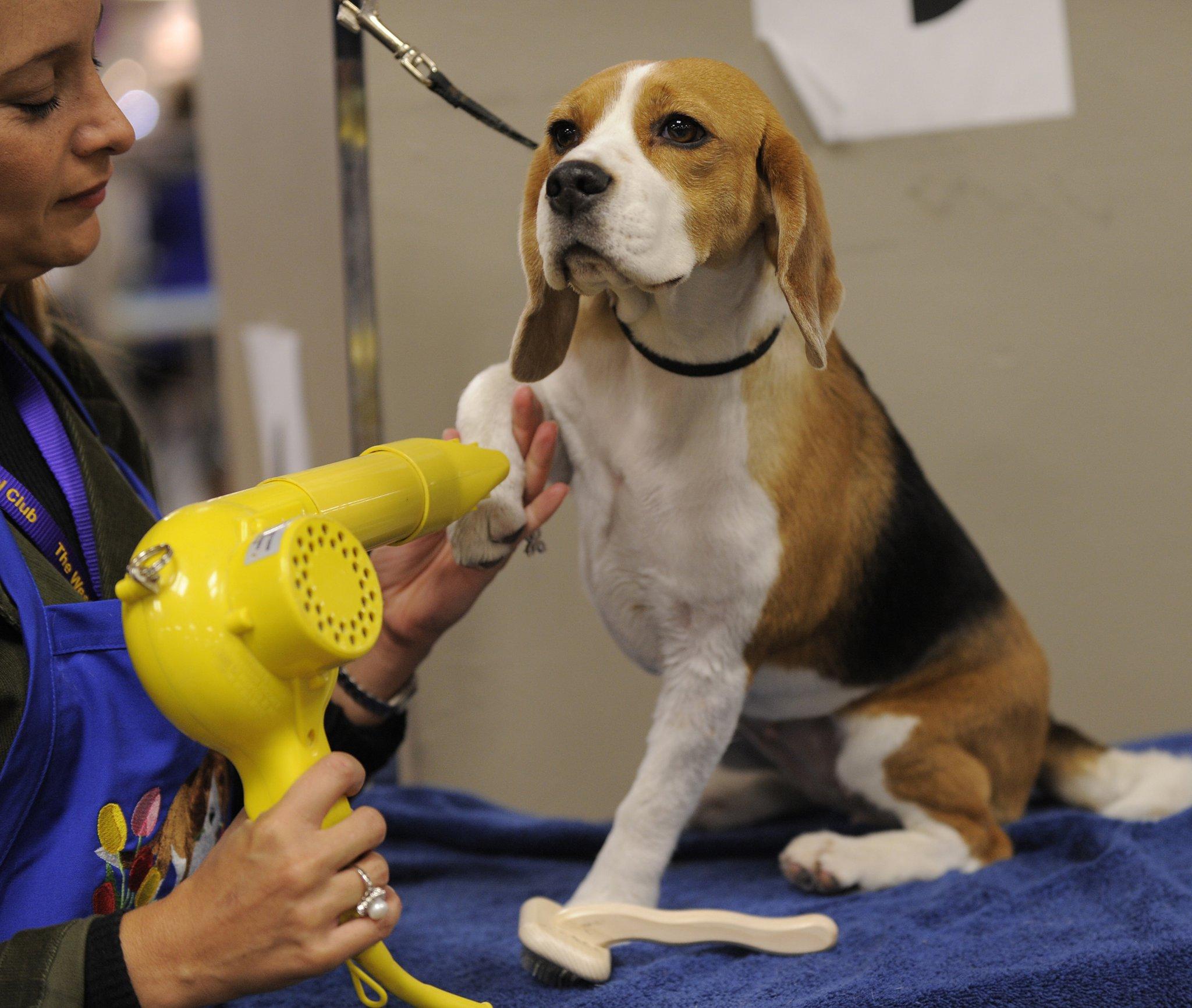 How to Groom a Beagle