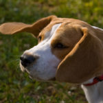 Beagle grooming tips for breeders