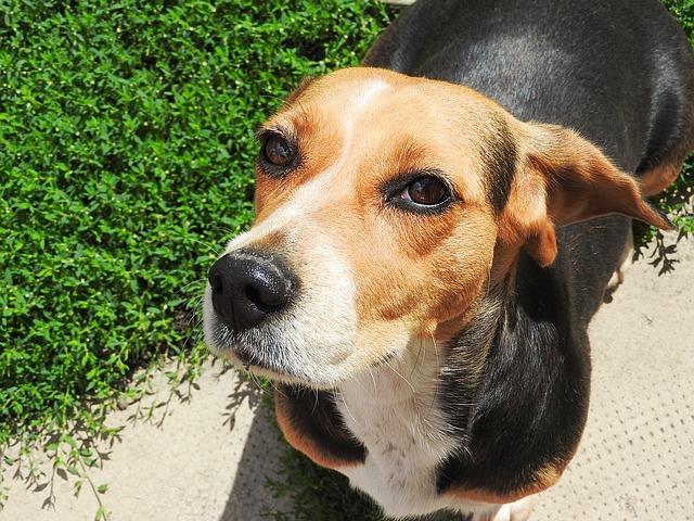 Beagle has dry skin