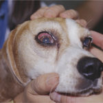 Beagle health problems eyes