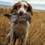 Beagle hunt training