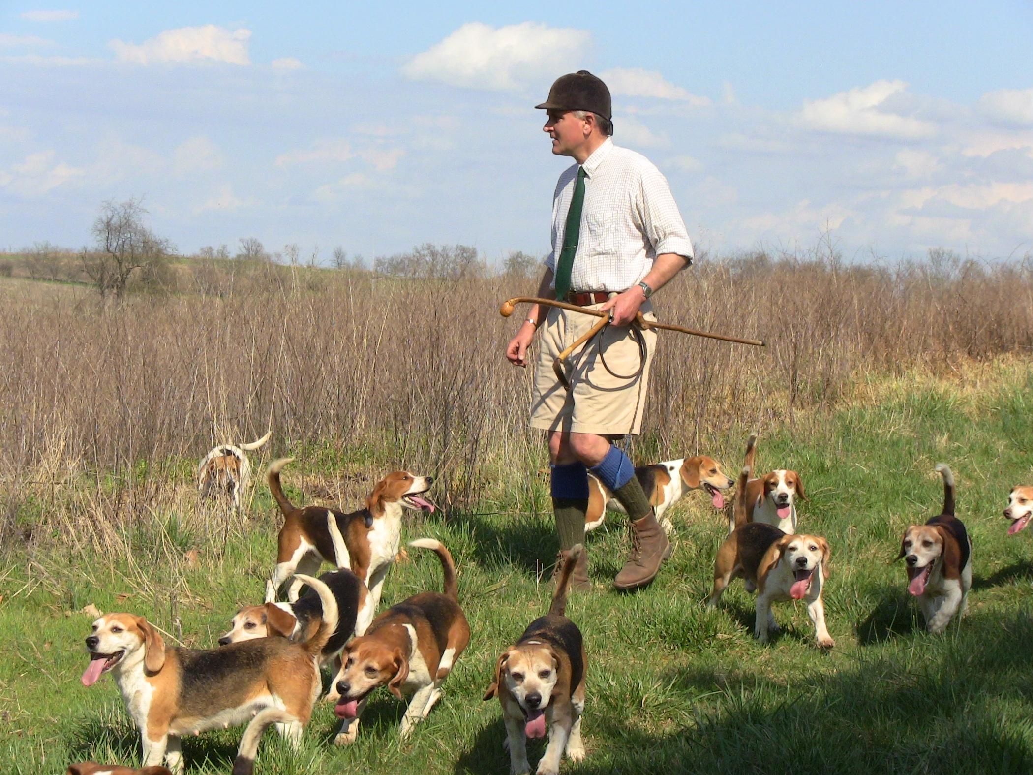 Beagle hunting dog training