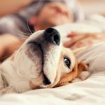 Beagle interesting facts