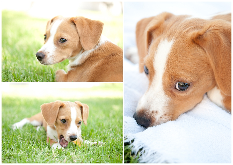 Beagle Jack Russell Terrier Mix Puppies | 1001doggy.com