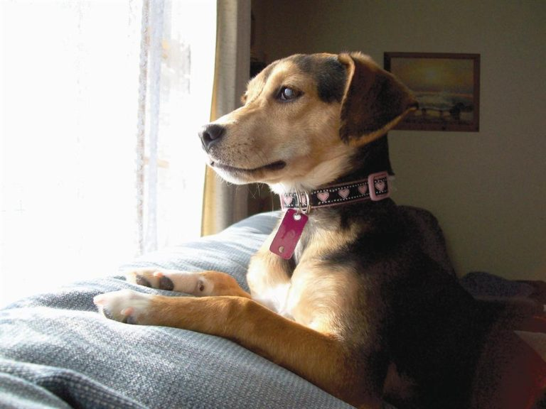 Beagle jack russell terrier mixed breed