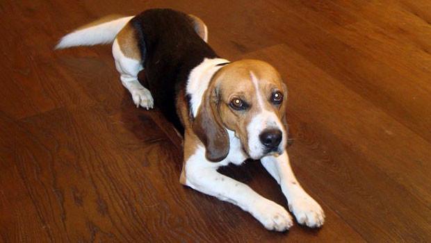 Beagle keeps limping