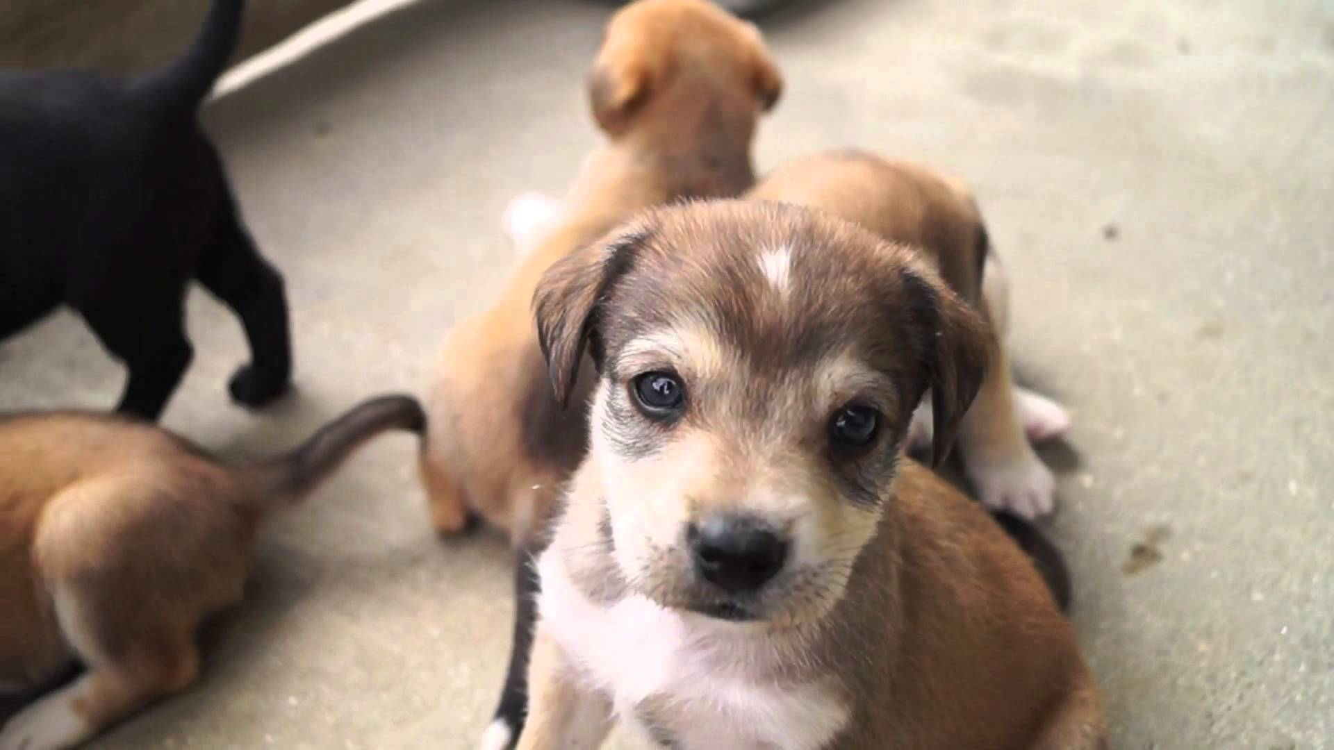 Beagle labrador mix puppies for sale uk