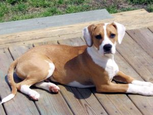 Beagle mix pitbull