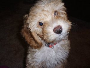 Beagle mix with poodle