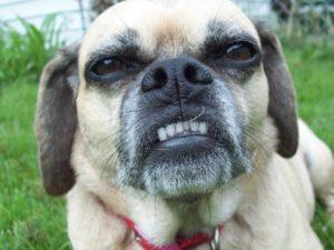 Beagle mixed with a Pug