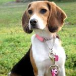 Beagle names girl