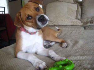Beagle pitbull mix size