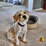 Beagle poodle mix for adoption