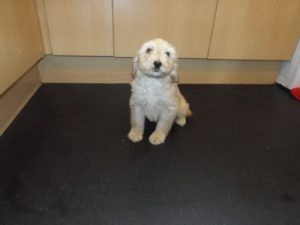 Beagle poodle mix for sale