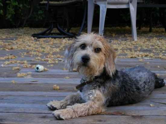 Beagle poodle mix information