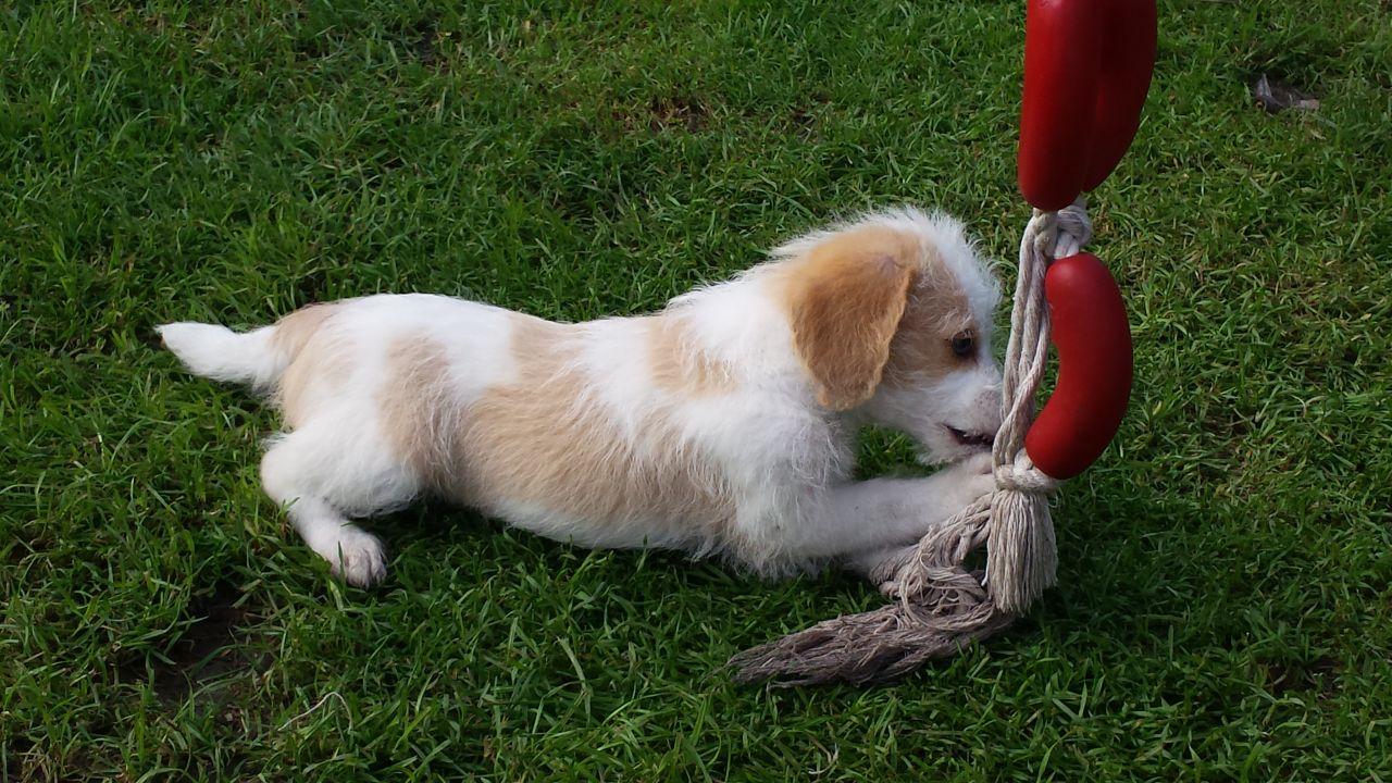 Beagle poodle mix puppies