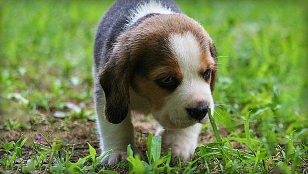 Beagle potty training problems