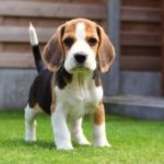 Beagle puppy 8 weeks size