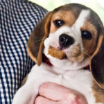 Beagle puppy food recipes