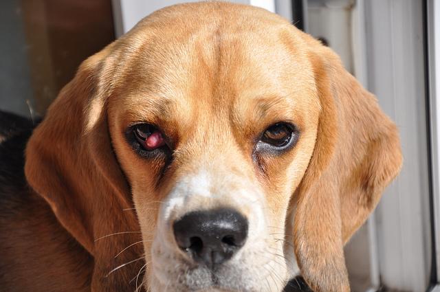 Beagle puppy has watery eyes
