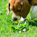 Beagle puppy potty training