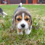 Beagle puppy potty training tips