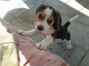 Beagle puppy with diarrhea