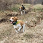 Beagle rabbit hunting training