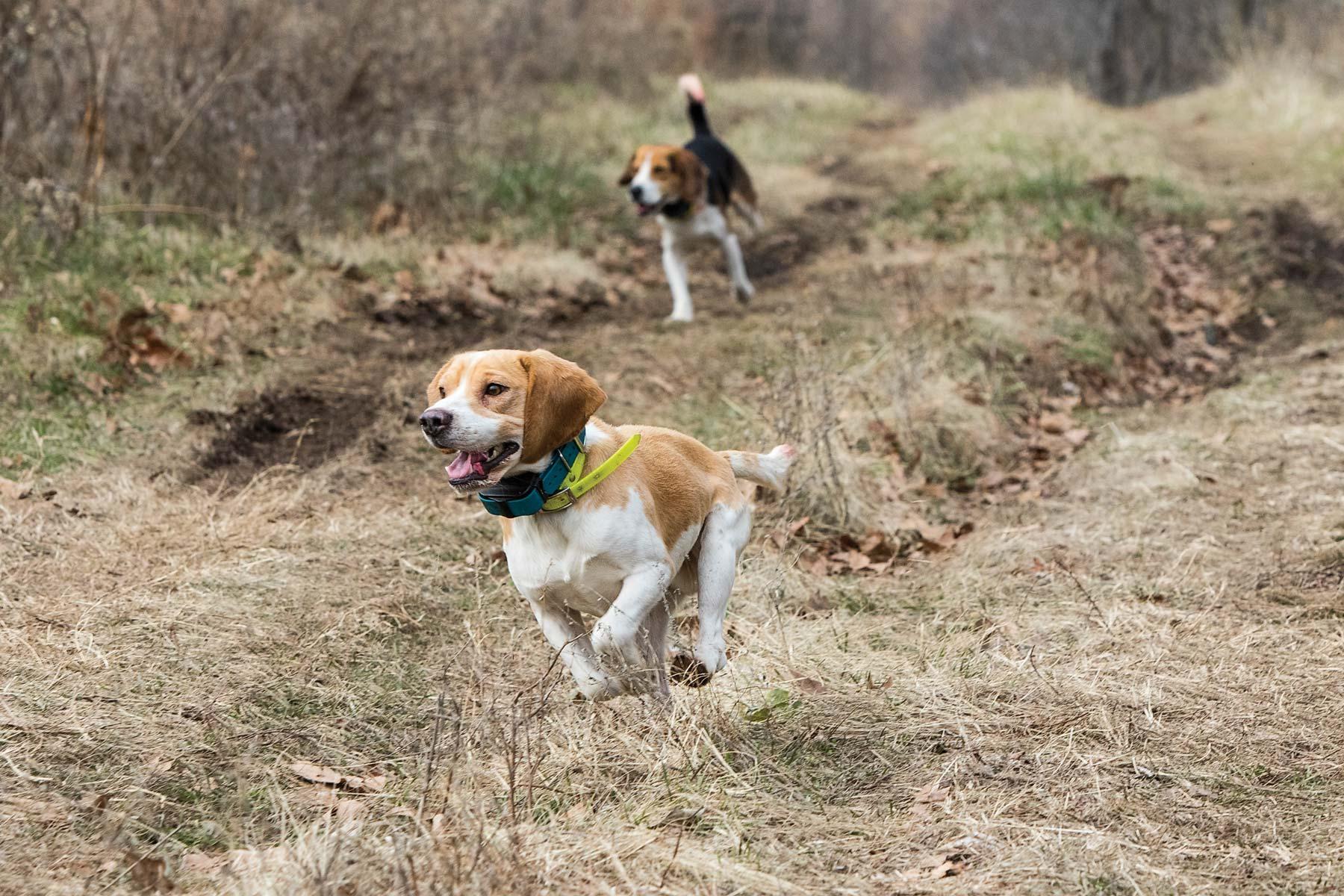 Beagle rabbit hunting training
