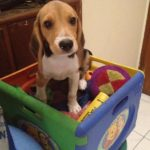 Beagle size at 3 months