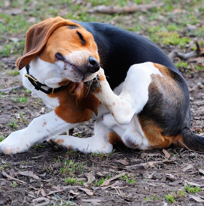 Beagle skin disease