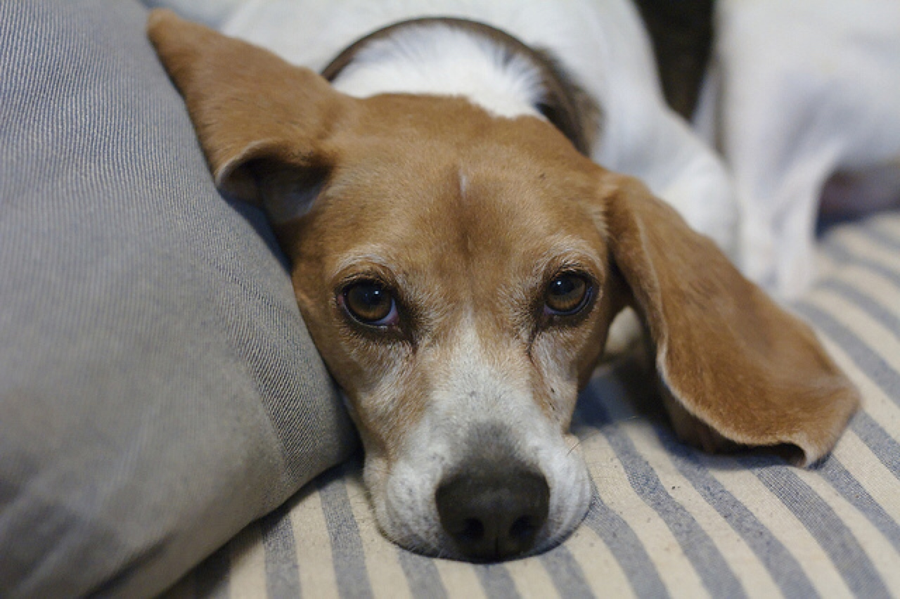 Beagle skin infection