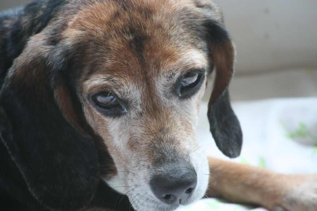 Beagle skin problem