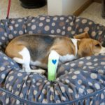 Beagle suddenly limping