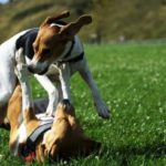 Beagle vs jack russell terrier