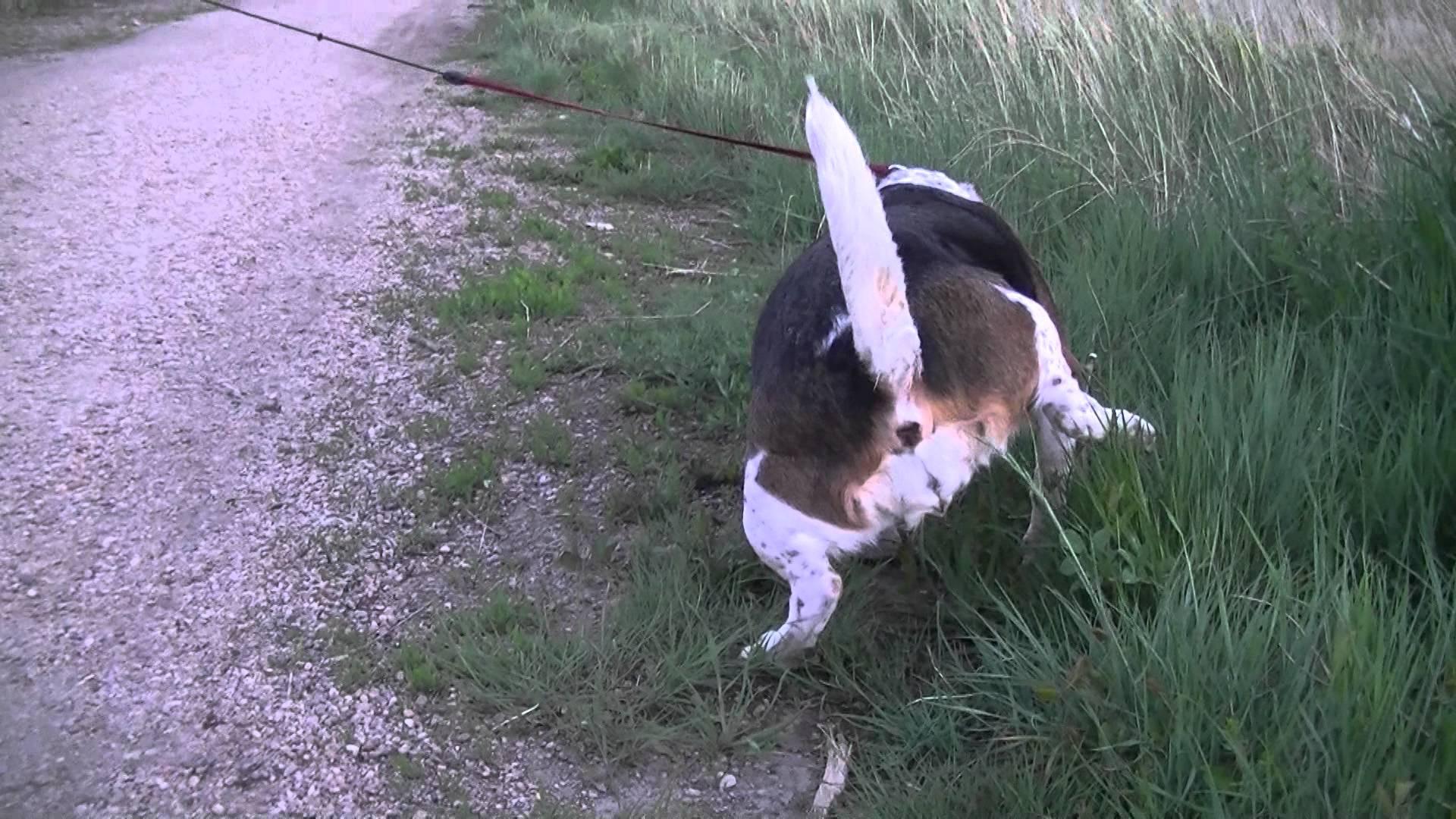 Beagles easy to potty train