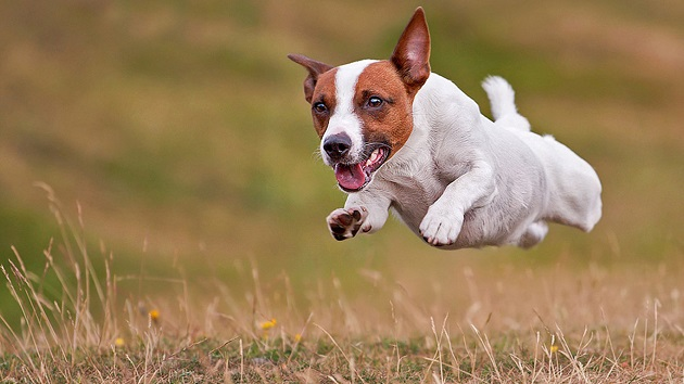 Best dog names for jack russell terriers