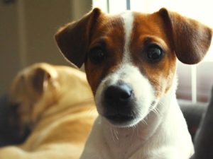Best jack russell terrier names