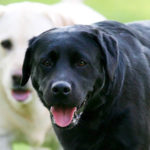Best names for male labrador retrievers