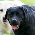 Best names for male labrador retrievers