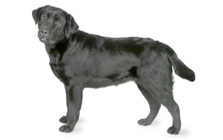 Black labrador retriever average weight