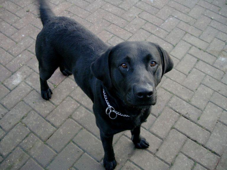 Black labrador retriever names boy