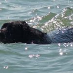 Black labrador retriever swimming