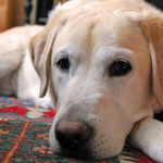 Bladder cancer labrador retrievers