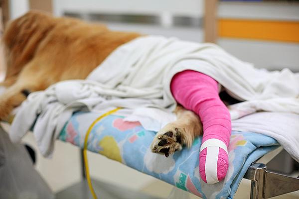 Bone cancer in labrador retrievers
