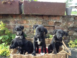 Border collie labrador retriever mix for sale